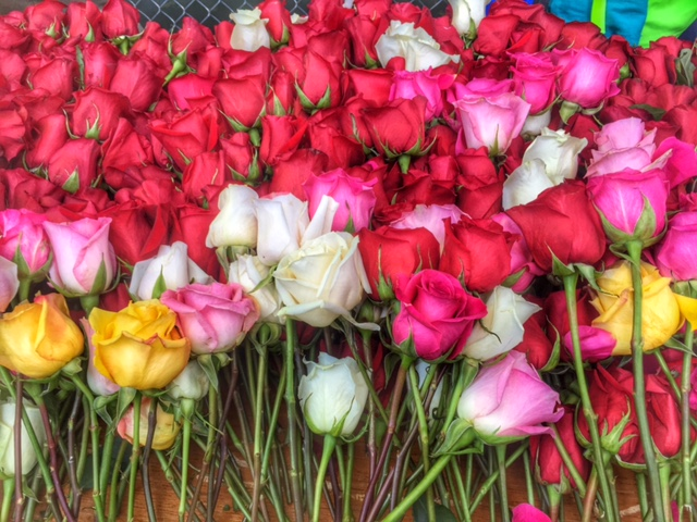 Portland red rose